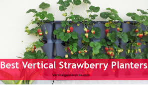 strawberries are simple to grow in any flower pots or containers and they like to be grown in loamy soil that contains more organic materials