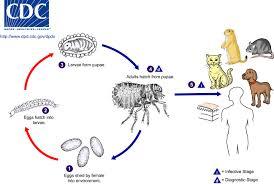 Bubonic Plague Chart Infection Landscapes Plague