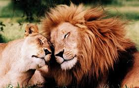 lioness and lion cuddle. Fine And Lion Love And Animal Image Inside Lioness And Lion Cuddle