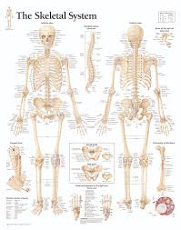 Human Skeleton Wall Chart The Skeletal System