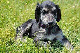 afghan en i offer i id i i afghan hound puppies for breed