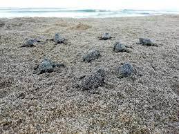 Caretta caretta break record at ancient Patara beach