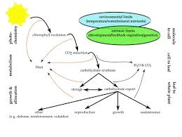 Cell Energy Flow Chart Photosynthesis And Cellular Respiration Answer Key Photosynthetic Productivity Can Plants Do Better Intechopen