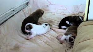 Canaan dog puppies at 8 days old - YouTube