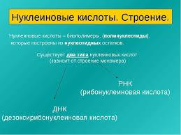 Презентация по Химии Нуклеиновые кислоты класс скачать  Нуклеиновые кислоты Строение Нуклеиновые кислоты биополимеры полинуклео
