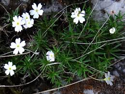 Androsace lactea — Вікіпедія