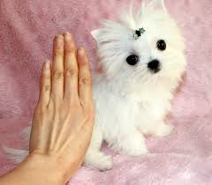 white teacup puppy. Contemporary Teacup LOOK AT THIS WHITE TEACUP MORKIE PUPPY On White Teacup Puppy