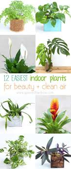 12 Easy Indoor Plants for Beauty + Clean Air