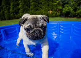 Pug Dog Vaccination Chart Can Pugs Swim A Guide To Swimming With Pugs