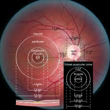 photograph of the retina of the human eye with overlay diagrams showing the positions and sizes of the macula fovea and optic disc