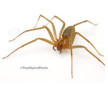 Brown Recluse Spider Clark Pest Control