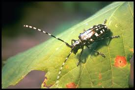 Asian longhorn beetle adaptations-introduced