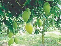 Giá trị hữu ích từ cây xoài