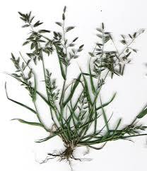 Eragrostis - Wikipedia