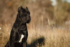 Cane Corso Feeding Chart 6 Best Cane Corso Dog Foods Plus Top Brands For Puppies