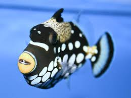 clown triggerfish. Simple Triggerfish The Life Of Animals  Clown Triggerfish Clown Triggerfish Usually  Around Coral Reefs He Lives In The Coastal Plain To Outer Reef Habitats Inside