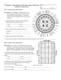 Dna Sequence Chart Worksheet Determination Of Protein Amino Acids From M