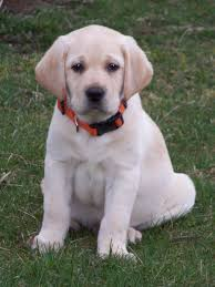 english yellow lab puppies. Simple Yellow English Yellow Lab Puppies For Sale  Google Search Throughout English Yellow Lab Puppies