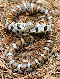 milk snake size eastern milksnake