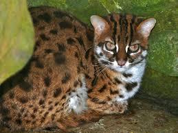 Leopard Cat Encyclopedia Of Life