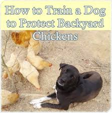 Backyard Chickens How To Design Your Chicken Run  Garden And How To Keep Backyard Chickens