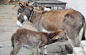Image result for donkey milk