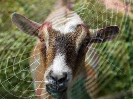 Scientists Breed Goats That Produce Spider Silk