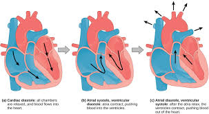 Image result for cardiac cycle stages