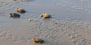 tartaruga caretta caretta all'isola d'elba