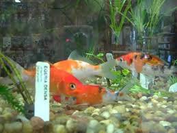 petco animals fish.  Petco Koi  Petco With Petco Animals Fish T