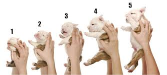 Pitbull Dog Years Chart Understanding Pit Bull Puppy Growth And Development Stages