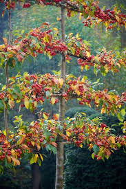 166 Best Growing Fruit Trees Images On Pinterest  Growing Fruit Growing Cordon Fruit Trees