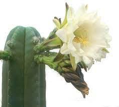 echinopsis scopulicola - Google Search | Sacred plant, Plants, Succulents