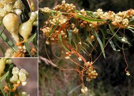 Cuscuta campestris Yunck. - Portale sulla flora del basso corso del ...