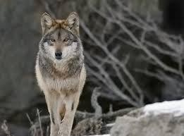 Wolf Species Size Chart Top 10 Wild Species Of Wild Dogs Of World
