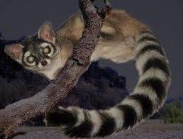 nocturnal desert animals. Unique Desert The Top 10 Sonoran Desert Animals To Nocturnal