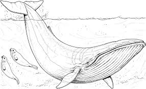 Small Picture Free Printable Whale Coloring Pages For Kids Whale Coloring Pages