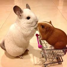 Small Picture Guinea Pig Vs Hamster 2910b8efd86f7344da36134f201da7c9 Chinchillas
