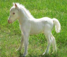 baby white horse. Wonderful Baby One Of The U0027Gentle Carousel Miniature Therapy Horsesu0027 And Baby White Horse U