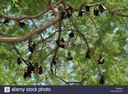 Group Of Fruit Bats Or Flying Foxes Hanging In The Trees Stock Group Of Fruit Trees