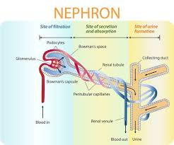 Basic Process Of Urine Formation And Function Of Nephron