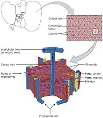 Liver Anatomy The Liver Lobes Ligaments Vasculature Teachmeanatomy