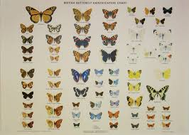 Moth Identification Chart British Butterfly Chart