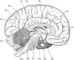 Small Picture Brain Anatomy Coloring Pages Bestofcoloringcom