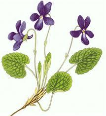 Resultat d'imatges de fotos de violetas