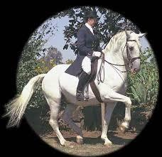 Image result for ;lipizzan stallions