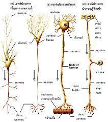 ïììĊę 3 øąïïðøąÿćìîĂÖÿŠüîÖúćÜǰĒúąøąïïðøąÿćìĂĉÿøą (Peripheral and autonomic  nervous