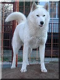 white husky wolf mix with blue eyes. Wonderful Mix Whitesiberianhusky_5 Throughout White Husky Wolf Mix With Blue Eyes S