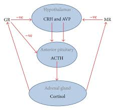A Review Of Hypothalamic Pituitary Adrenal Axis Function In Chronic