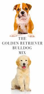 american bulldog golden retriever mix. Golden Retriever Bulldog Mix Intended American